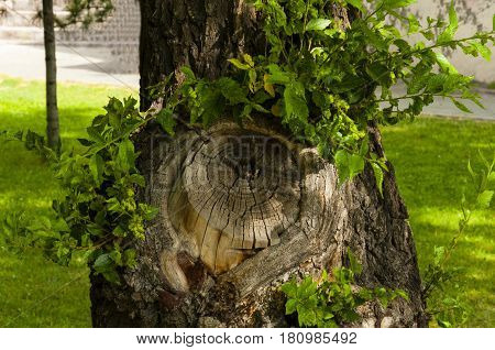 tree trunk and the place of a saw cut of the most part of a trunk with new branches and leaves
