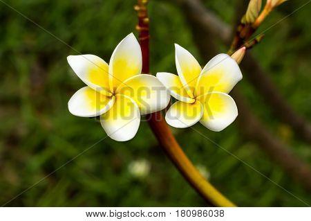 white frangipani tropical flower plumeria flower blooming on tree spa flowe