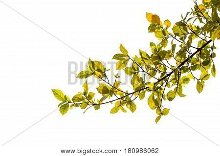 Green leafs isolated. green leaf isolated on white background.