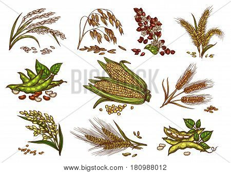 Cereals and grain plants vector set. Isolated symbols of wheat and rye ears, buckwheat seeds and oat or barley millet with rice sheaf. Agriculture harvest of corn cob and farm legume beans or pea