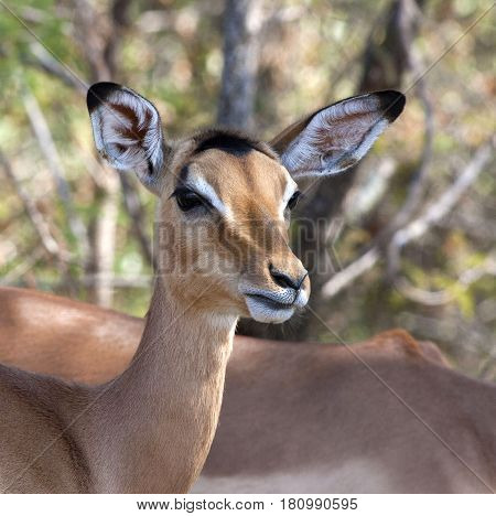 Portrait of an Impala Doe in Kruger National Park in South Africa.
