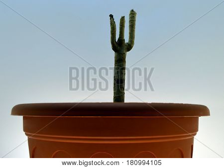 the dry stalk of a plant in a pot on a blue background
