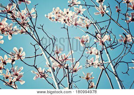 Beautiful pink magnolia flowers horizontal view toned image