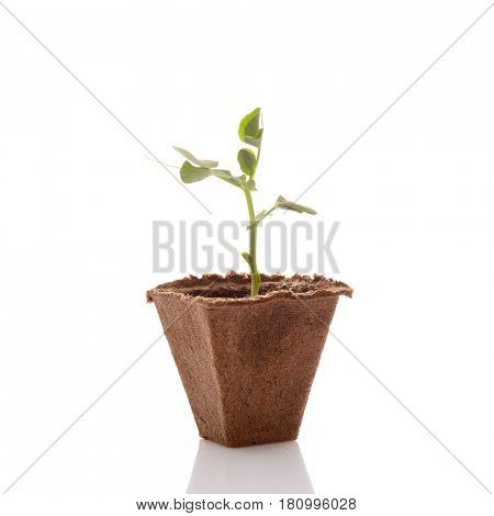 Young pea seedling in peat pot on a white background. Spring sprout, gardening. Vegetable growing.