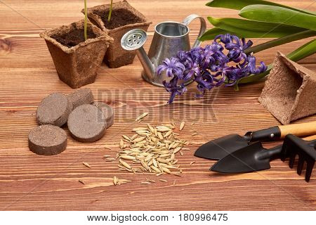 Gardening tools, peat tablets and pots, seeds and young seedlings on a wooden background. Concept of spring gardening.