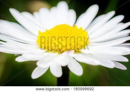 Daisy flower in sunny day macro photography
