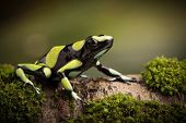Tropical poison dart frog from the Amazon rain forest in Colombia. Dendrobates auratus a macro of a poisonous animal in the rainforest. poster