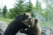 Grizzly (Brown) Bears in a playful fight. poster