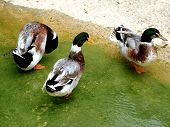 group of ducks by the river poster