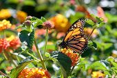 One Monarch butterfly perched on yellow and orange lantana flowers drinking nectar. The monarch butterfly may be the most familiar North American butterfly and is an iconic pollinator species. poster