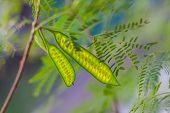 Colorful fresh floral blurred green acacia two seedpods background poster