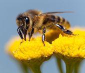 detail of bee or honeybee in Latin Apis Mellifera european or western honey bee pollinated of the yellow flower golden honeybee on flower poster