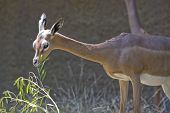 Horizontal image of a gerenuk eating a plant poster