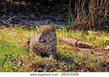 poster of Jaguar, Panthera Onca, on a riverbank, Cuiaba River, Porto Jofre, Pantanal Matogrossense, Mato Grosso, Brazil South America