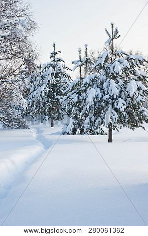 Trail And Spruce Under The Snow In A City Park