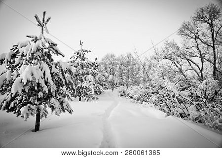 Trail And Spruce Trees Under The Snow Black And White