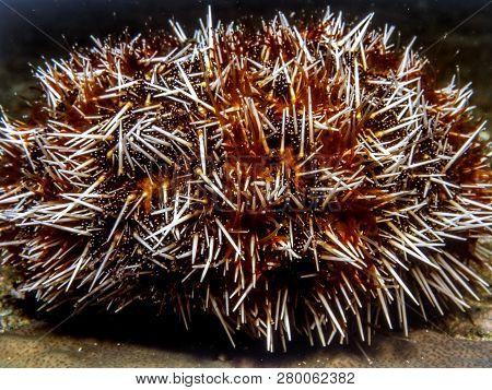 Sea Urchins Globular Animals, Echinoderms In The Class Echinoidea