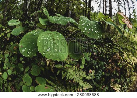 Wet Green Forest Floor Leaves Growing On A Shrub After The Rain