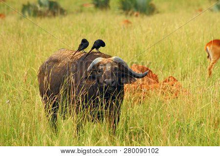 A Cape Buffalo Feeds On The Ugandan Plains While Two Birds Groom Him.
