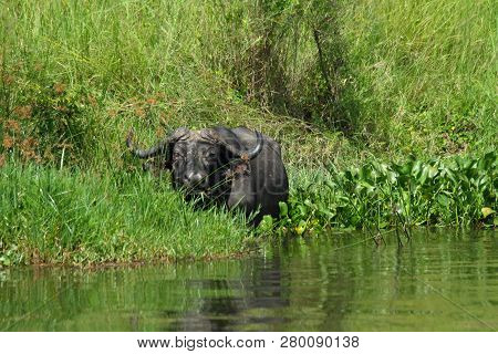 A Cape Buffalo Is Feeding Along The Shoreline Of The Nile River In Murchison Falls National Park, In