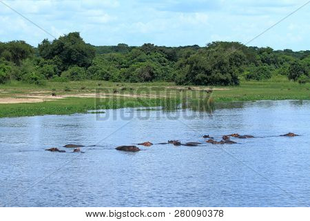 A Group Of Hippopotamusses Wading In The Nile River While A Group Of Warthogs Graze On Shore In The
