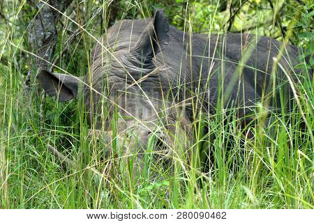 A Large Rhinoceros Rests In Long Green Grass In Ziwa Rhino Sanctuary, Uganda.
