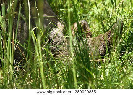 Sleeping Rhino Head