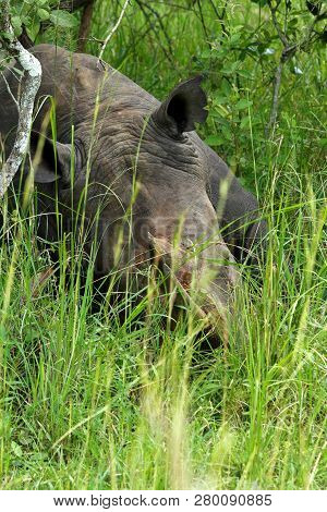 A Rhinoceros Sleeping In The Ziwa Rhino Sanctuary Photographed On Foot Standing In Front Of The Rhin