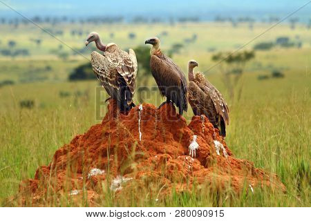 Three Vultures Sit On A Rock In The Ugandan Plain.