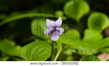 Heath Dog-violet, Viola Canina, Flower With Defocused Background, Macro, Selective Focus, Shallow Do