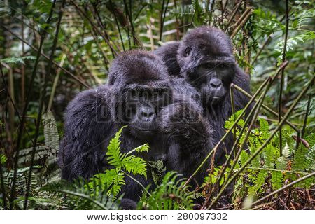 Mountain Gorillas In The Rainforest. Uganda. Bwindi Impenetrable Forest National Park. An Excellent