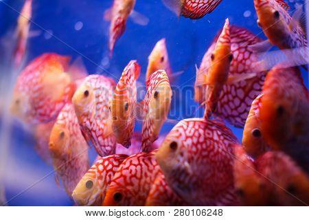 Discus Fish Symphysodon Aequifasciatus Red Melon With Red Turqoise Leopard In Blue Aquarium