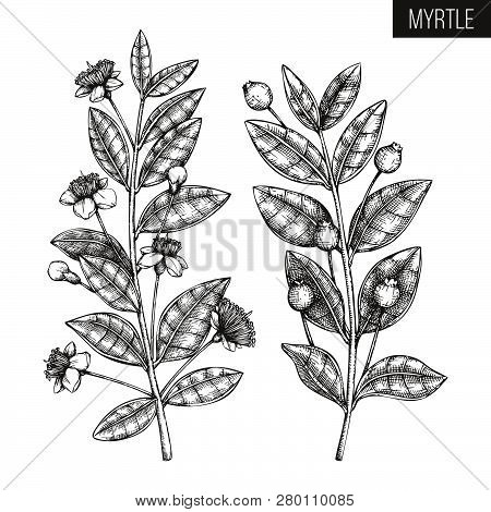 Vintage Collection Of Hand Drawn Myrtle Tree  Sketches. Cosmetics And Medicinal Plant Vector Illustr