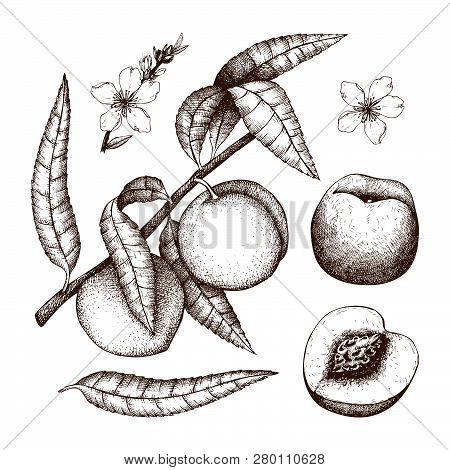 Hand Drawn Peach Sketch. Vector Tree Drawing With Fruit, Leaves And Flowers. Botanical Illustration