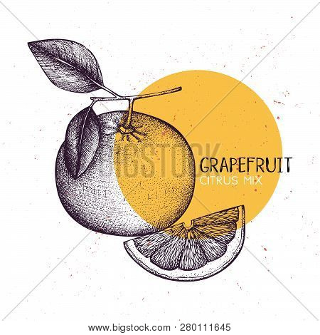 Grapefruit Vintage Design Template. Botanical Illustration. Engraved Pomelo. Vector Drawing. Citrus