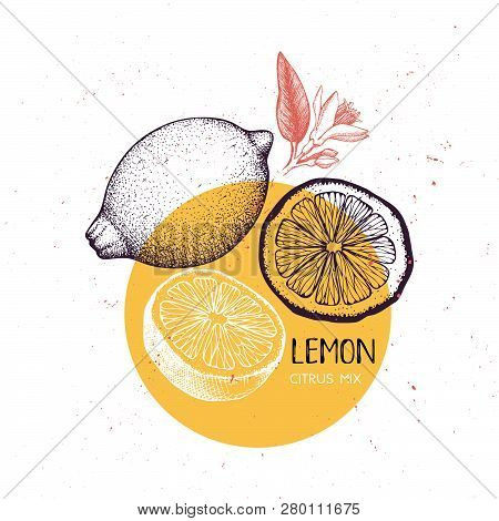 Lemon Vintage Design Template. Botanical Illustration. Engraved Lemons. Vector Drawing. Citrus Fruit