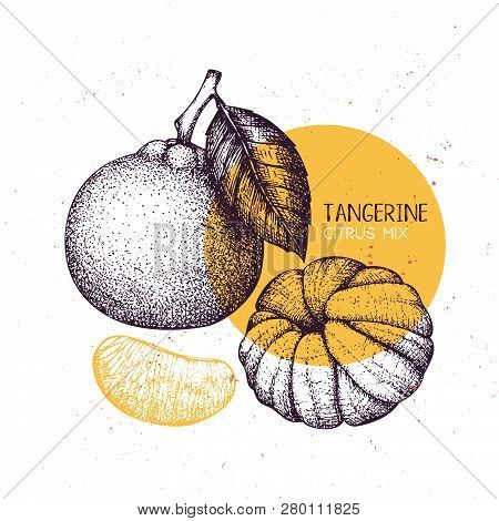 Tangerine Vintage Design Template. Hand Drawn Botanical Illustration. Engraved Vector Drawing. Citru