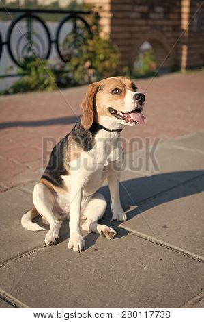 Cute dog sits on pathway on sunny day outdoor. Pet, companion, friend, friendship. Protection, alertness, bravery. poster