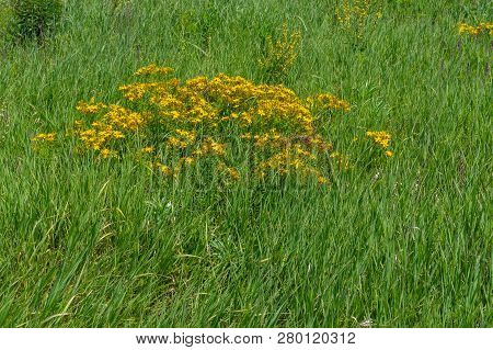 Shrub Of Hypericum Flowering Plant In Ukranian Meadow At Early Summer Season