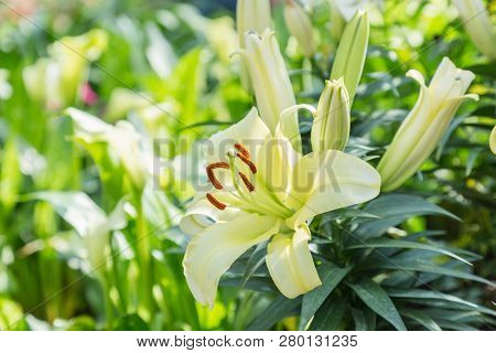 Lily Flower. Lily Lilium Hybrids. Flower In Garden At Sunny Summer Or Spring Day. Flower For Postcar