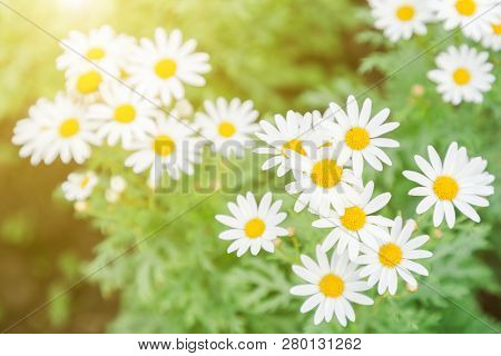 White Daisy Flower. Flower In Garden At Sunny Summer Or Spring Day. Flower For Postcard Beauty Decor
