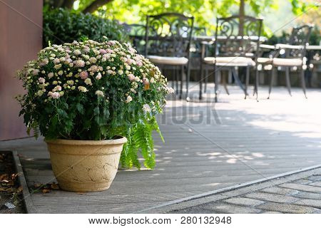 Pot With Beige Chrysanthemums In Summer Outdoor Cafe. Flowers In Clay Pot On Blurred Background.