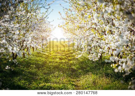 Bright ornamental garden with blooming lush trees on a sunny day. Seasonal background. Soft focus. Flowering orchard in spring time. Scenic image of trees in charming garden. Beauty of earth, Ukraine.