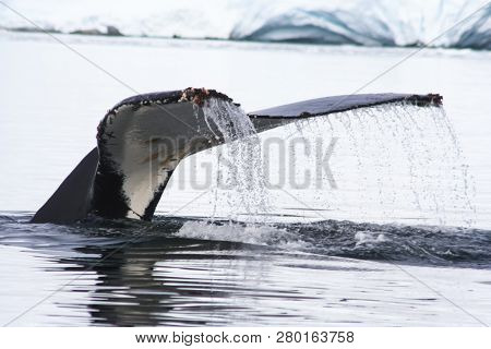 Whale In The Waters Of The Antarctic. A Whale In Its Natural Habitat.