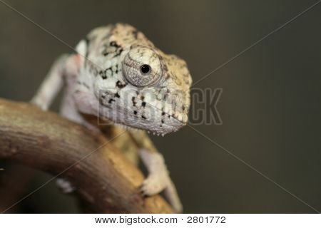 Young Panther Chameleon