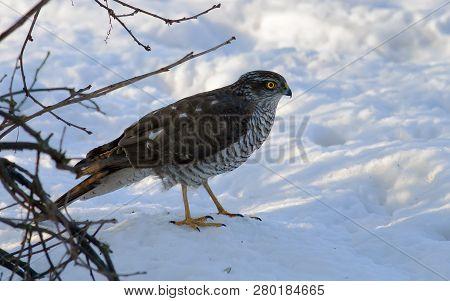 Female Eurasian Sparrowhawk Standing On Snow Under A Bush