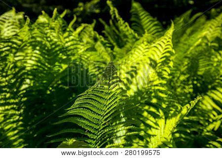 Ferns In The Forest, Latvia. Beautyful Ferns Leaves Green Foliage. Close Up Of Beautiful Growing Fer