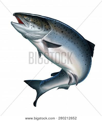 Atlantic Salmon Or Pink Salmon On A White Background.. Red Salmon. Fishing On The River, Northern Fi