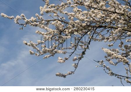 White Flowers Blooming On A Cherry Blossom Tree, With A Cloudy Blue Sky In The Springtime