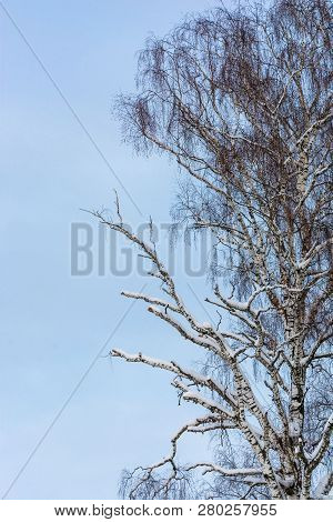 Birch With Partially Dry Branches Against The Blue Sky.